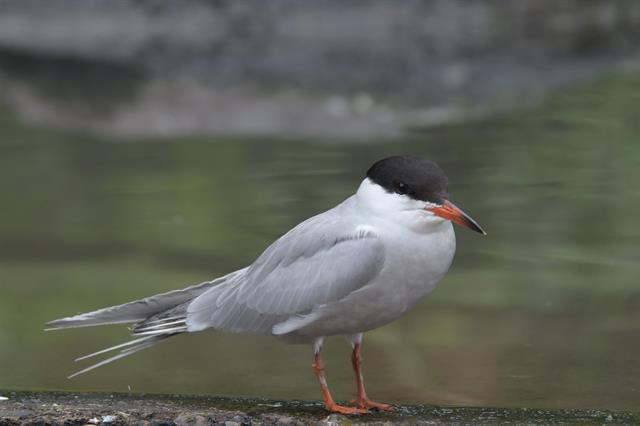 Sterne pierregarin (Sterna hirundo) photo