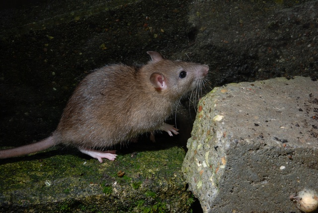 Surmulot (Rattus norvegicus) photo