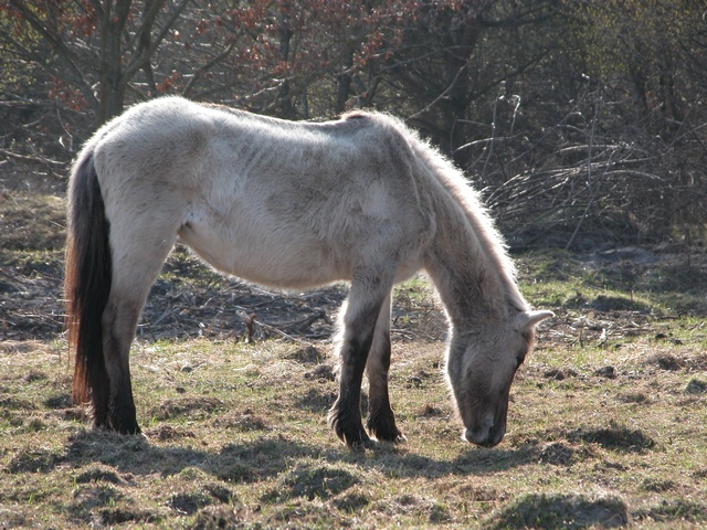Tarpan (Equus caballus gmelini) photo