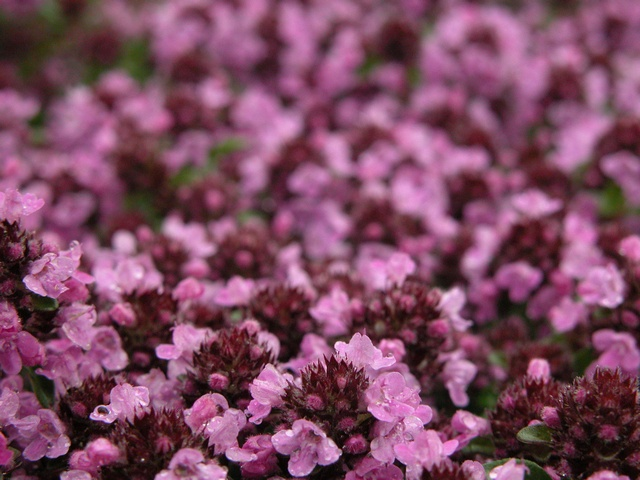 Thymus citriodorus photo
