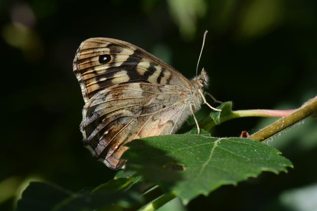 Tircis (Pararge aegeria) photo