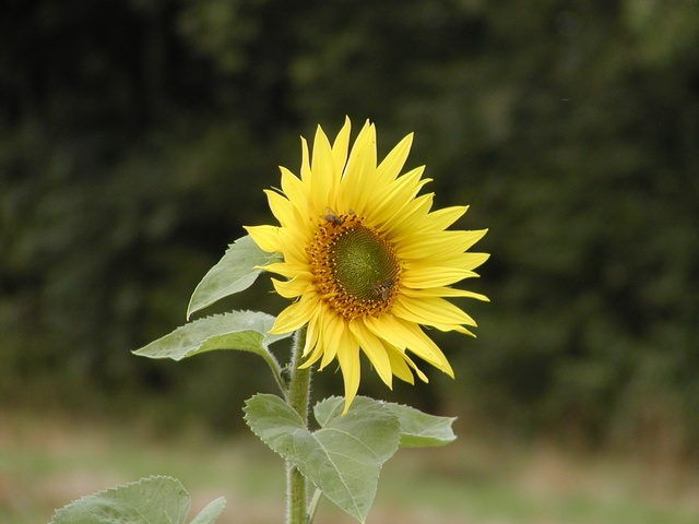 Tournesol, Hèlianthe annuel, Soliel, grand (Helianthus annuus) photo