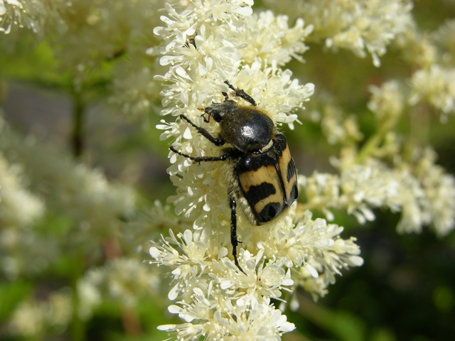 Trichius fasciatus photo