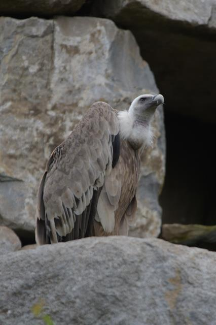 Vautour fauve (Gyps fulvus) photo