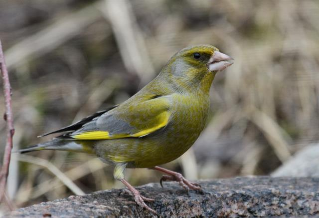 Verdier d´Europe (Carduelis chloris) photo
