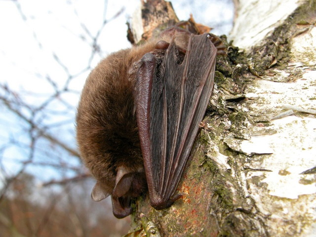 Vespertilion des marais (Myotis dasycneme) photo