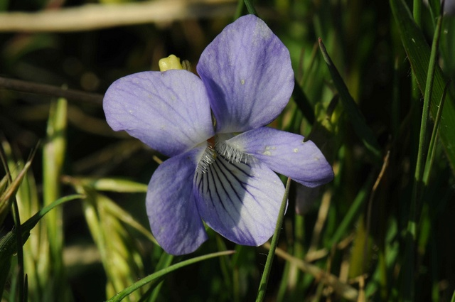 Violette de chien, Violette de serpent (Viola canina) photo