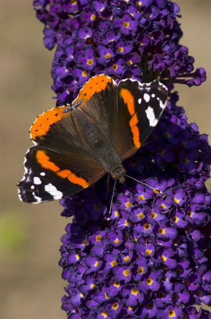 Vulcain (Vanessa atalanta) photo