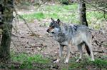 Loup (Canis lupus)