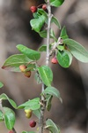 Cotoneaster canescens