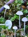 Mycena cinerella