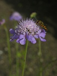 Scabieuse colombaire (Scabiosa columbaria)