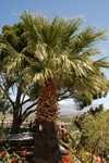 Washingtonia sp.